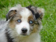 mini chien berger australien - Recherche Google