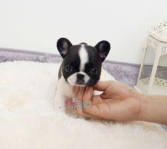 Adorable Amazing Lil Miss Darlin ~ Precious Mini French Bulldog Girl Available!