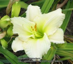 Daylily, Hemerocallis 'White Tuxedo' (Herrington, 1991)