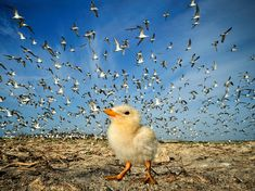 The progeny, a solitary chick amidst the adult great crested terns, taken from a prone position with a wide-angle lens at a breeding site on a Sri Lankan island in northwestern seas.