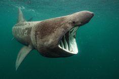Basking Shark feeding, off the Isle of Coll, Scotland. Photo © Will Clark.