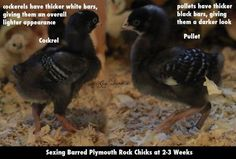 I notice a lot of misconceptions about sexing Barred Plymouth Rocks, and I wanted to make a...