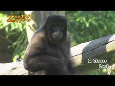 Looking for a monkey? Don't shoot! Contact http://www.stockshot.nl/ ©    wolaap - Lagothrix - woolly monkey - Wollaffe - Golden-bellied Capuchin - Cebus xanthosternos - Yellow-breasted - Buffy-headed Capuchin - Gelbbrust-Kapuziner - geelborstkapucijnaap - capuchino de pecho amarillo - Macaco-prego-do-peito-amarelo