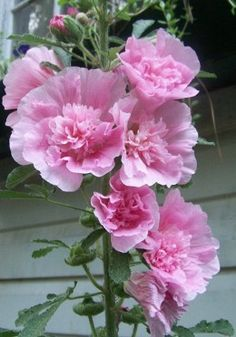 Tips for Growing Hollyhocks
