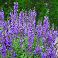 Salie 'Marcus'/Salvia nemorosa 'Marcus' (Sage).............. Planten in de tuin zetten die slakken door hun sterke geur op afstand houden   == Oostindische kers (Tropaeolum majus)   == Hysop(Hyssopus officinalis)   == Salie(Salvia officinalis)   == Tijm(Thymus officinalis)   == Tomaat(Lycopersicon)   == Teentjes knoflook