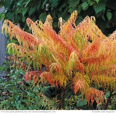 Must-have shrubs for fall | These 4 foliage stars will shine in your garden during other seasons, too! Cutleaf staghorn sumac, common witchhazel, cranberrybush viburnum and oakleaf hydrangea