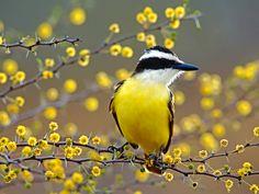Bem-Te-Vi, outro brasileirinho que canta no meu jardim todos os dias........