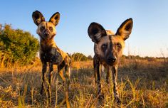 A pair of African Wild Dogs in Hwange National Park, Zimbabwe. Image Source: Burrard-Lucas Wildlife Photography
