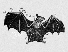 Anatomical Bat Skeleton
