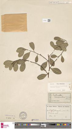 L.2120941 | Erythroxylum novogranatense (Morris) Hieron.