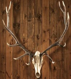 It's true, I like a good European mount. A real one - not these fake ones. European Elk Mount, Deer Mount Decor, Antler Wall Decor, Elk Antlers, Elk Horns, Deer Mounts, Pendulum Clock, Bow Hunting, Hunting Cabin