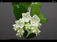 Hoya cysthiantha