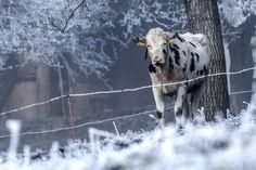 """22. Dezember 2016: """"Schneekuh""""  Mehr Bilder auf: http://www.nachrichten.at/nachrichten/fotogalerien/weihbolds_fotoblog/ (Bild: Weihbold)"""