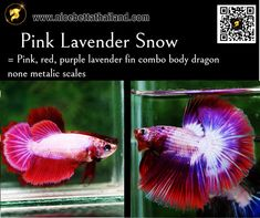 All of Betta Fish – A Guide on Patterns, Color in the world - Nice Betta Thailand.CO.,LTD Fish For Sale, Siamese Fighting Fish, Fish Farming, Beautiful Fish, Black Dragon, Colorful Fish, Freshwater Fish, Betta Fish, Colors