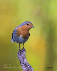 Petirrojo - European robin by Rafael_Sanchez_Sanchez #animals #animal #pet #pets #animales #animallovers #photooftheday #amazing #picoftheday