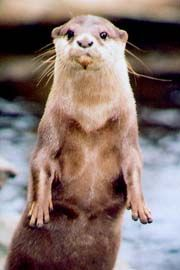 Asian small-clawed otter.