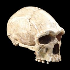 Image of Arago 21, skull, 3/4 view