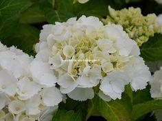 Dutch Ladies Sakira Hortensia Hydrangea macrophylla