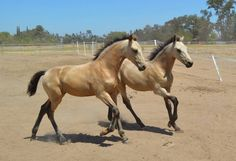 Buckskin Warlander filly (Friesian x Andalusian | Horses For Sale | Epona Exchange - Abacus Xiloh & Xiva
