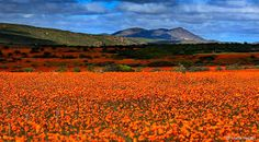 namaqualand flowers 2020 - Google Search Ultimate Travel, Wild West, West Coast, South Africa, Mountains, Nature, Google Search, Life, Flowers