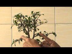 Bonsai para Iniciantes - Evitar a morte do Bonsai [ PARTE 2 ] - YouTube