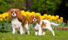 Кавалер кинг чарльз спаниель (фото): истинный джентльмен в мире собак  Смотри больше http://kot-pes.com/kavaler-king-charlz-spaniel-foto-istinnyj-dzhentlmen-v-mire-sobak/