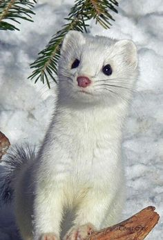 """The stoat (Mustela erminea), also known as the ermine or short-tailed weasel, is a species of Mustelidae native to Eurasia and North America, distinguished from the least weasel by its larger size and longer tail with a prominent black tip. In New Zealand, it is held responsible for declines in native bird populations. It is nominated among the 100 """"world's worst invasive species"""". also known as the ermine or short-tailed weasel."""