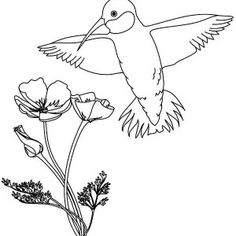 Hummingbirds, Calliope Hummingbird And Flowers Coloring Page: Calliope-Hummingbird-and-flowers-coloring-page.jpg