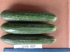 Gvs 607 Persian Cucumber, Trials