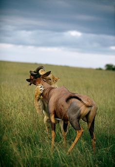 A Lioness attacking a Topi on the grassy plains in Africa.