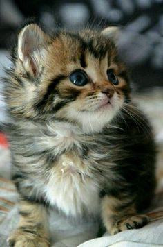 Cute Wallpapers Of Kittens And Puppies. Cute Kittens Jokes an Cute Cats And Dogs Together while Super Cute Cartoon Cats Cute Kittens, Beautiful Kittens, Kittens And Puppies, Pretty Cats, Animals Beautiful, Kittens Meowing, Kittens Cutest Baby, Fluffy Kittens, Fluffy Cat