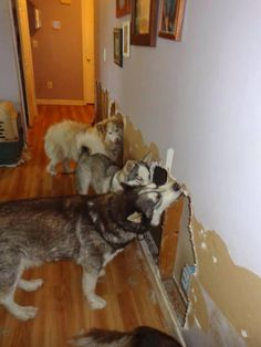"""Need demolition done? Call the """"Husky Mouth Contractors""""! Photo from Southern Siberian Rescue."""