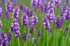 """There are many health benefits of lavender: it can be used orally to treat nervousness, depression and headache, as well as digestive concerns including flatulence, loss of appetite and nausea. ... applying lavender oil (combined with the essential oils from cedar wood, thyme and rosemary) may improve hair growth by as much as 44 percent after seven months of treatment. It can also be applied topically as an insect repellant and locally to painful joints."""