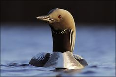 Black Throated Diver