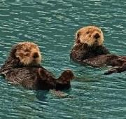 A-Z Animals - The sea otter is a small marine mammal native to the north and eastern coasts of the Pacific Ocean. Despite the fact that sea otters are the largest members of the weasel family, sea otters are among the smallest mammals in the marine world.