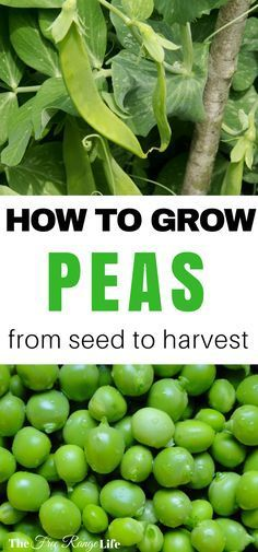 How to Grow Peas in your garden! Peas are a simple, cool weather crop, learn how to grow them yourself!