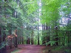 Bosque de secuoyas (Cabezón de la Sal, Cantabria)