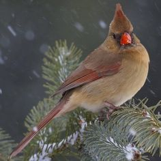 State Bird of Ohio - Northern Cardinal Ohio State Bird, Ohio Birds, State Birds, Snails In Garden, Northern Cardinal, Watercolor Feather, Viewing Wildlife, Cardinal Birds, Backyard Birds