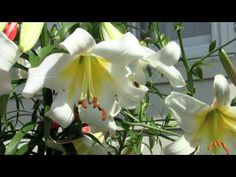 Dr. Jim Ault, the Chicago Botanic Garden's plant breeder, shows you how he hybridizes lilies in his backyard - and you can too!