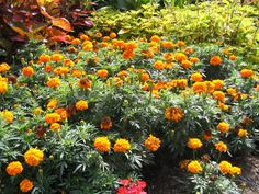 """Dwarf """"yellow"""" marigold #flowers, from Lawn Connections."""