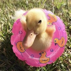 Even ducklings practice water safety Baby Animals Pictures, Cute Animal Pictures, Animals And Pets, Cute Little Animals, Cute Funny Animals, Cute Dogs, Pet Ducks, Baby Ducks, Cute Ducklings
