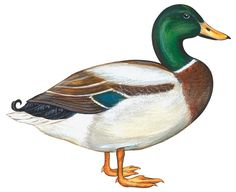 mallard-duck-anonymous.jpg (900×734)