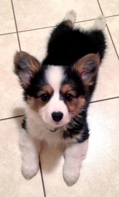 Adorable puppy with an almost-heart-shaped nose. corgi