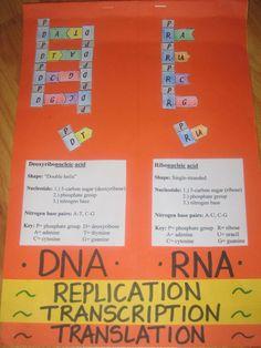 DNA transcription and translation foldable - Google Search
