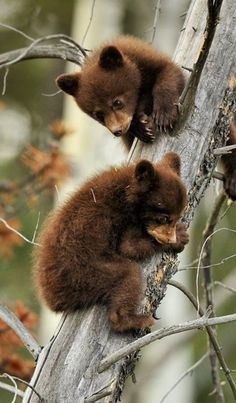 Cute little bear cubs up a tree. Cute Creatures, Beautiful Creatures, Animals Beautiful, Baby Panda Bears, Bear Cubs, Baby Bear Cub, Grizzly Bear Cub, Baby Pandas, Tiger Cubs