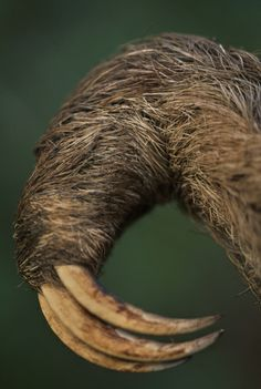 Franz Lanting photograph of three-toed sloth claws Pictures Of Sloths, Cute Sloth Pictures, Baby Pictures, Sloth Claws, Baby Sloth Video, Cute Baby Sloths, Three Toed Sloth, Greatest Mysteries, Mammals