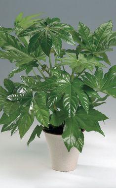 Die Zimmeraralie (Fatsia japonica) ist die perfekte Pflanze für Treppenhäuser oder Vorräume, da sie schattige und besonders im Sommer kühle Standorte mag
