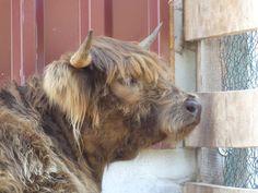 Highlandrind Goats, Cow, Animals, Animales, Animaux, Goat, Cattle, Animal, Animais