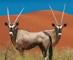Google Image Result for http://www.gotravel24.com/files/media/Places/Northern_Cape/KgalagadiTransfrontierParkGemsbok_NCTourism_450.jpg