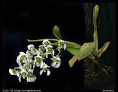 Picture/Photo: Zygostates grandiflora. A species orchid